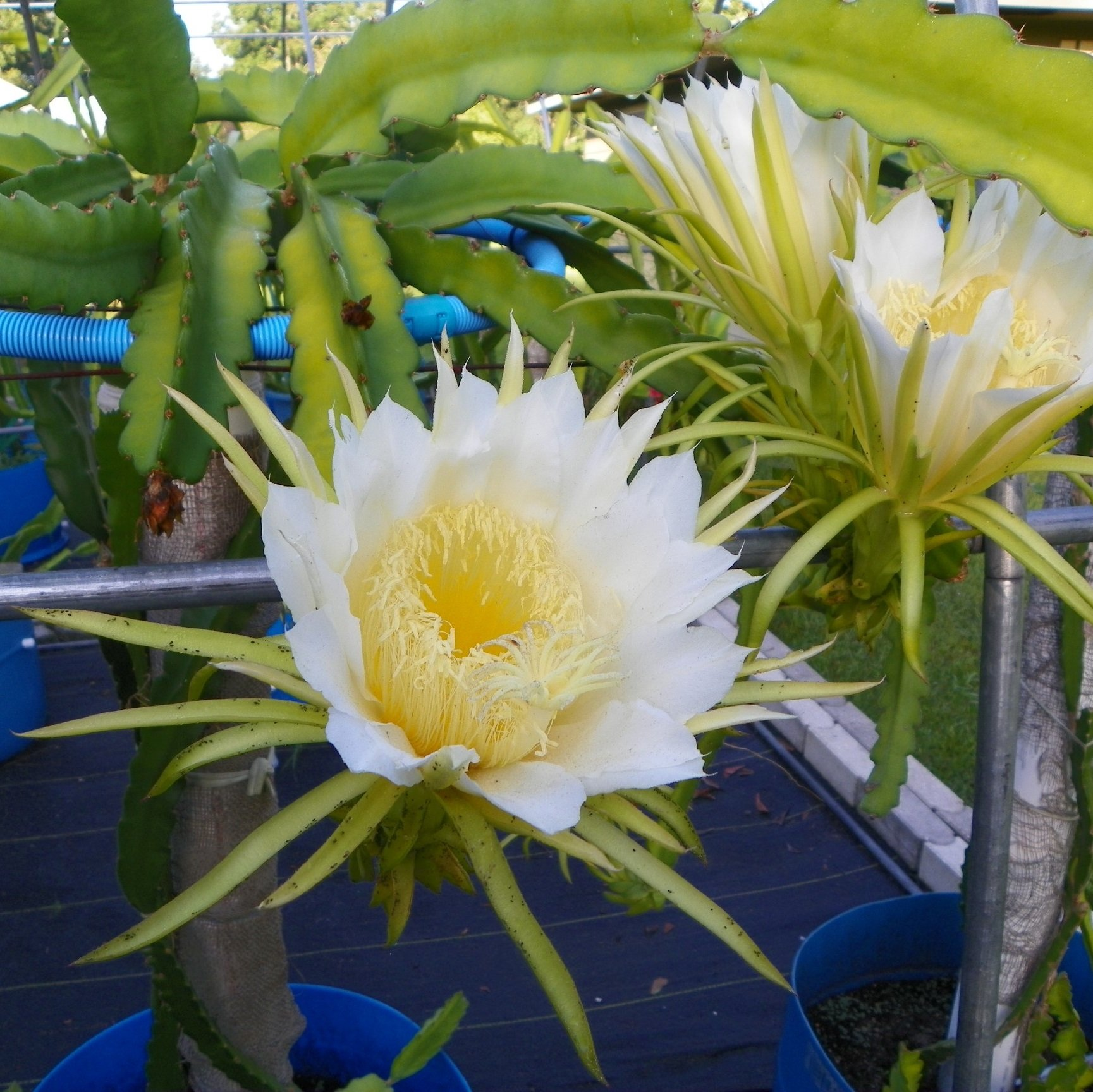 Dragon Fruit variety Thomson flower