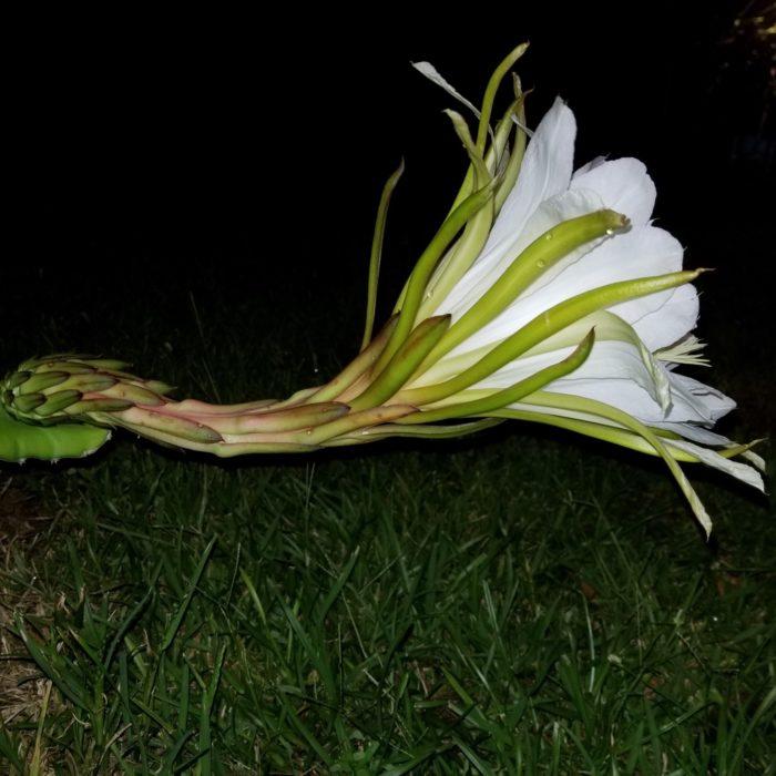 UCLA Dragon Fruit Flower
