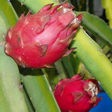 Dragon Fruit variety Voodoo Child fruit