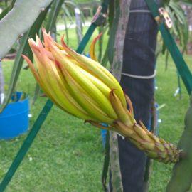 Dragon Fruit variety Voodoo Child flower bud