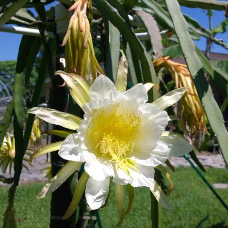 Dragon Fruit variety Voodoo Child flower