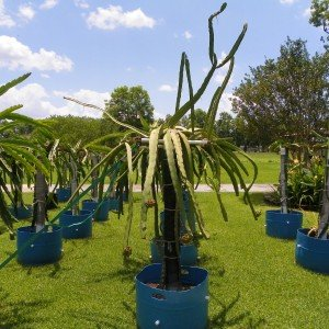 Dragon Fruit variety Voodoo Child plant