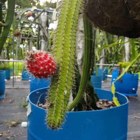 Selenicereus validus Fruit