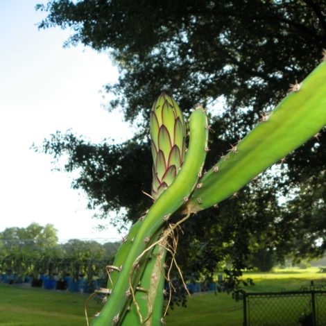 Vivid Purpurea Dragon Fruit Flower Bud