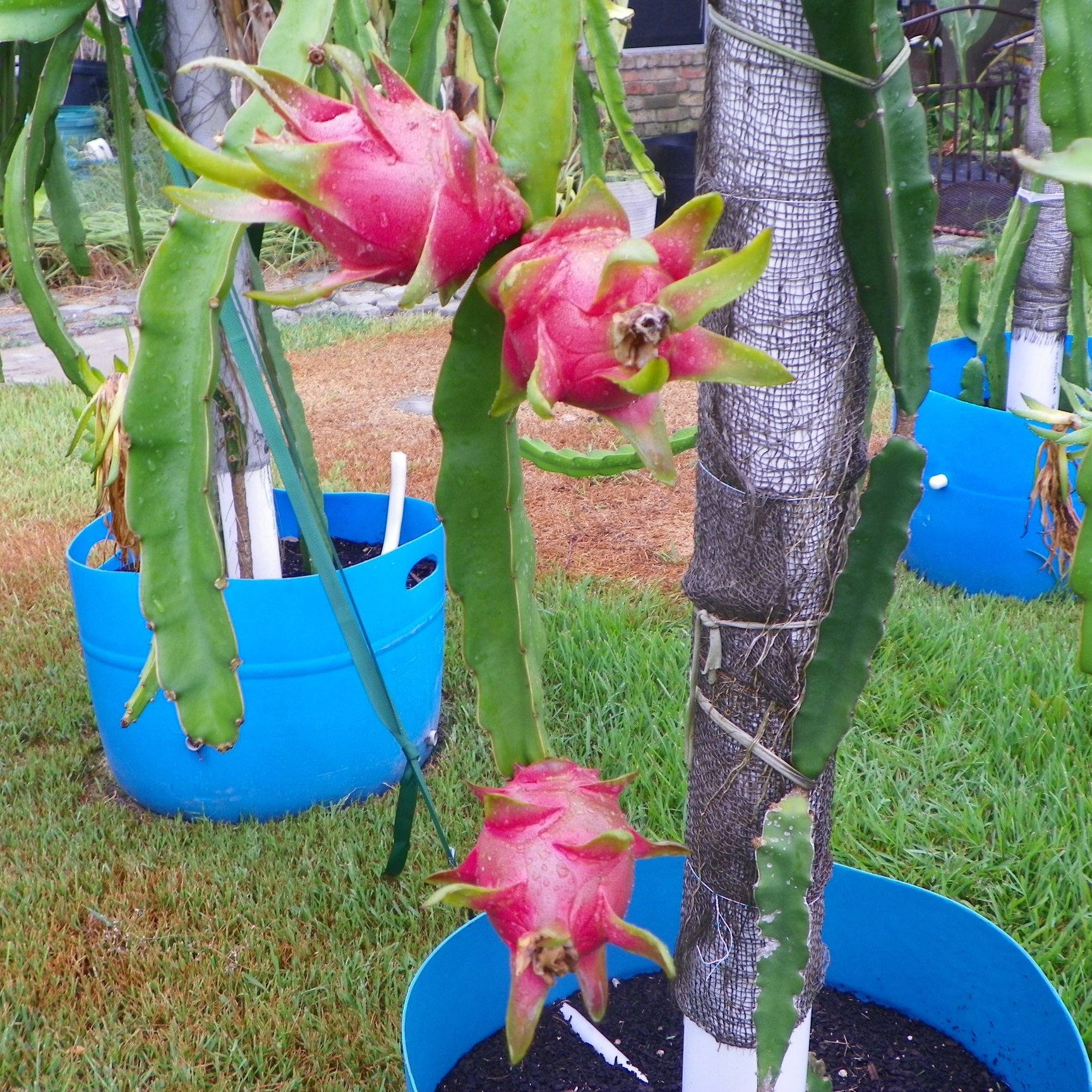 Dragon Fruit variety Vietnamese White fruit