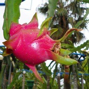 Dragon Fruit variety Vietnamese White fruit