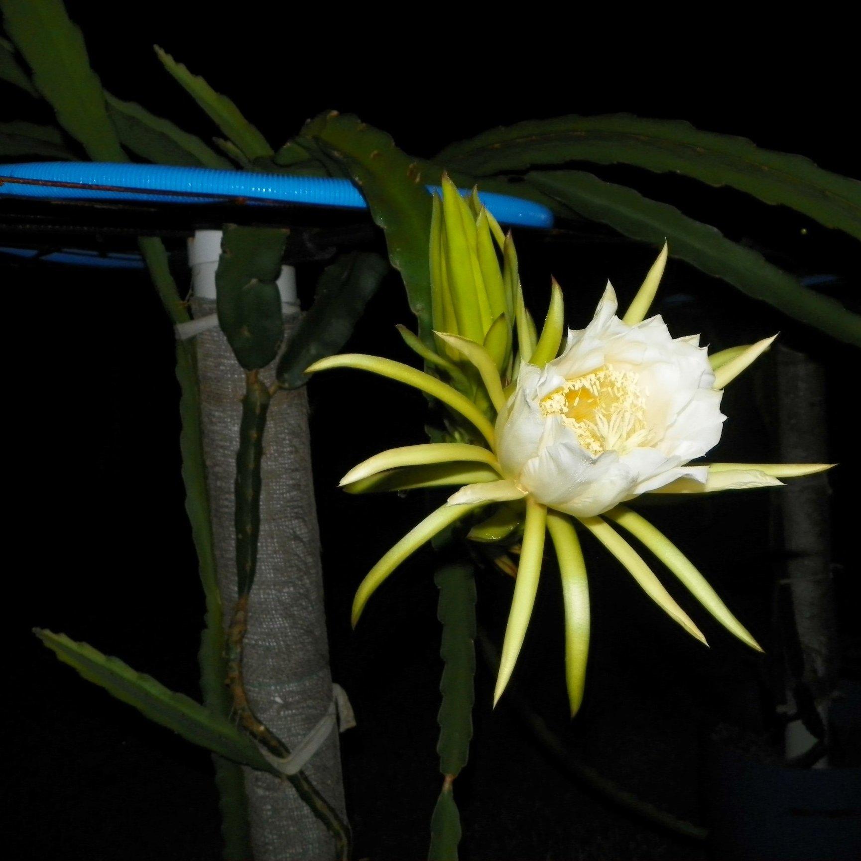 Dragon Fruit variety White Sapphire flower