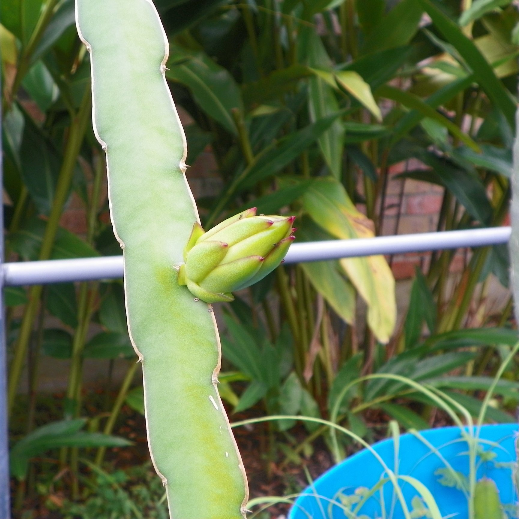 Dragon Fruit variety White Sapphire flower bud