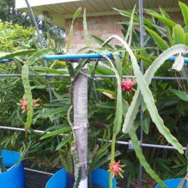 Dragon Fruit variety White Sapphire plant