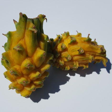 Dragon Fruit variety Yellow Dragon