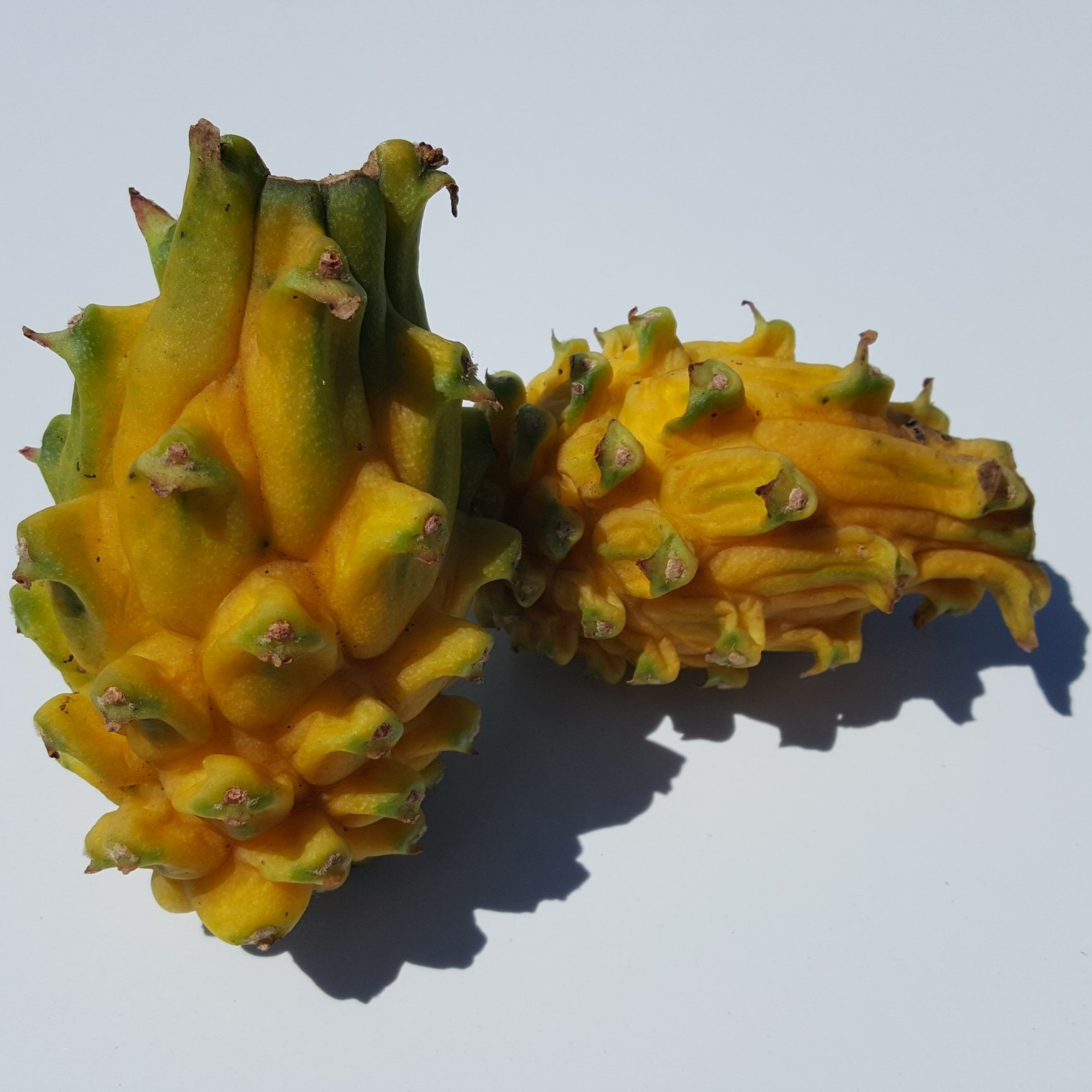 Dragon Fruit variety Yellow Dragon