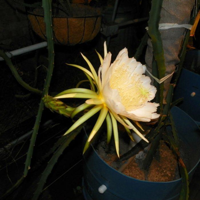 Yellow Thai Dragon Fruit variety flower