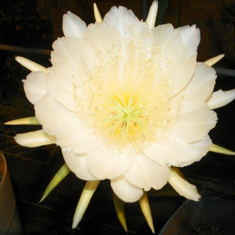 Yellow Thai Dragon Fruit variety flower