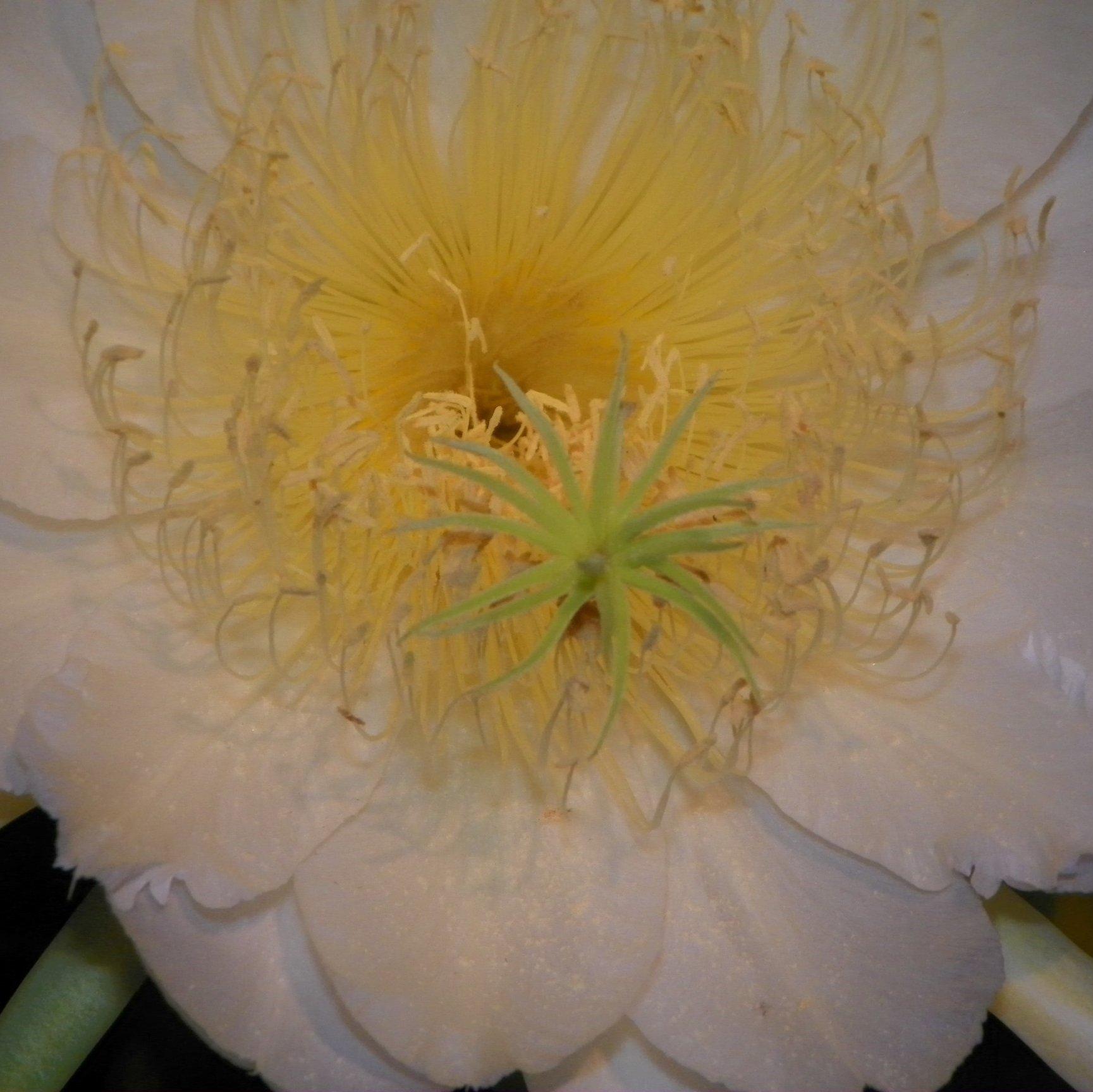 Yellow Thai Dragon Fruit variety flower stigma