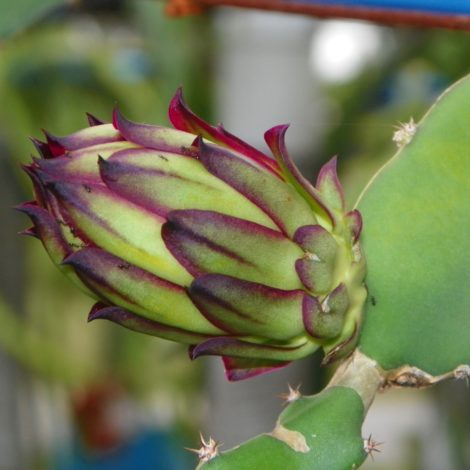 Dragon Fruit variety Zamorano flower bud