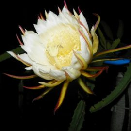 Dragon Fruit variety Zamorano flower