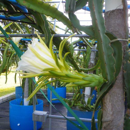 Dragon Fruit variety K1 flower
