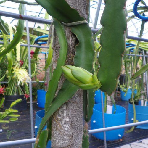 Dragon Fruit variety K1 flower bud
